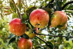 Fresh organic orchard full of riped red apples before harvest royalty free stock photos