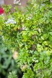 Fresh Organic Parceley Royalty Free Stock Photos