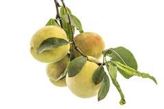 Fresh organic peaches. Åeftelija royalty free stock image