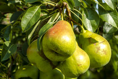 Fresh Organic Pears Hanging in Orchard Stock Photography