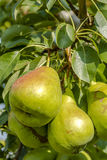 Fresh Organic Pears Hanging in Orchard Royalty Free Stock Image
