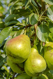 Fresh Organic Pears Hanging in Orchard Stock Images