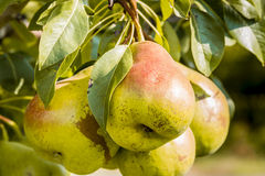 Fresh Organic Pears Hanging in Orchard Royalty Free Stock Images