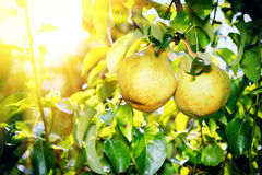 Fresh organic pears Royalty Free Stock Image