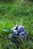 Fresh organic plums. Blue plums on green grass. Autumn harvest. Fresh organic plums. Blue plums on green grass Stock Photo