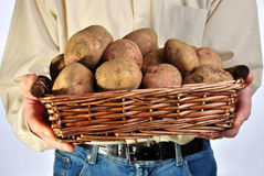 fresh organic potato in a basket Royalty Free Stock Photos