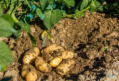 Fresh organic potatoes just came out.  Royalty Free Stock Images