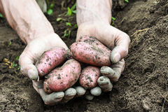 Fresh organic potatoes Stock Images