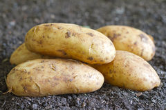 Fresh organic potatoes on the soil in the garden Stock Images