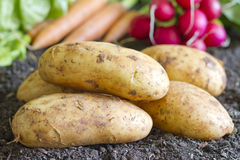 Fresh organic potatoes on the soil in the garden Royalty Free Stock Image