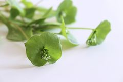Fresh organic Purslane ,Claytonia perfoliata on white background . You can use them in fresh vegetable salads. Food. Fresh organic Purslane ,Claytonia perfoliata royalty free stock images