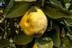 Fresh organic quince Royalty Free Stock Image