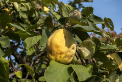 Fresh organic quince Stock Images