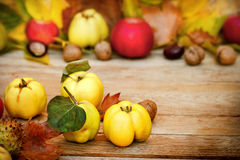Fresh organic quinces. Autumn fruit - Autumn harvest (Quinces - Autumn fruit on table Stock Photos