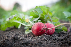 Fresh organic radish. Fresh harvested organic radish lying in the field Stock Images