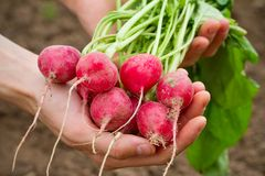 Fresh organic radish. In woman's hand Stock Photography