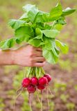 Fresh organic radish. In woman's hand Stock Images