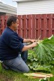 Fresh organic radish crop harvested closeup Stock Photos
