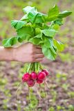 Fresh organic radish in hand Stock Images
