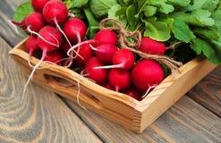 Fresh organic radish Stock Image
