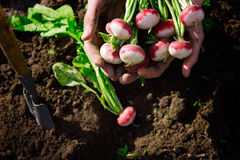 Fresh organic radish from the soil. In farmer hands Stock Photography