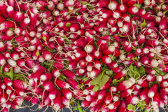 Fresh organic radishes in a bunch Stock Image