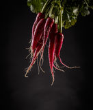 Fresh organic radishes Stock Images