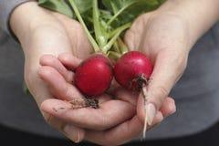 Fresh organic radishes Stock Photo