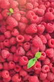 Fresh organic raspberries with mint leaves. Fruit background with copy space. Sunny summer and berries harvest concept. Vegan, vegetarian, raw food Stock Images