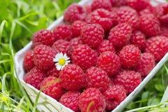 Fresh organic raspberry in basket Royalty Free Stock Image