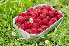 Fresh organic raspberry in basket Stock Image