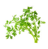 Fresh organic raw coriander leaf Stock Images