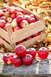 Fresh organic red apples from autumn harvest at local farm stock images