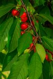 Fresh organic red cherries with stems. stock image
