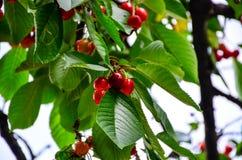 Cherries. Fresh organic red cherries on the tree Stock Photo