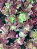 Fresh organic red oak leaf lettuce salad vegetable farm. raw lolla rosa lettuce healthy veggies natural food background. top view Stock Photography