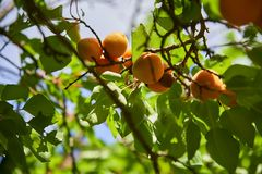 Fresh, organic, ripe apricots on the branch. royalty free stock photo