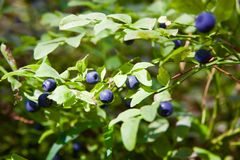Fresh organic ripe blueberries royalty free stock images