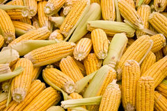 Fresh Organic Ripe Corn Royalty Free Stock Images