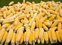 Fresh Organic Ripe Corns Stock Photo