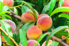 Fresh organic ripe peach tree with green leaves on branch Royalty Free Stock Image