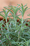 Fresh organic rosemary plant.A culinary spice. Royalty Free Stock Image