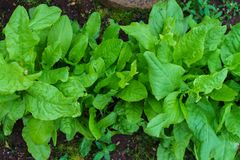 Fresh organic sorrel leaves pattern background for salad or soup. First spring greens - sorrel stock images