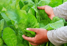 Fresh and organic spinach leaves. Holding by hand in garden Stock Photo