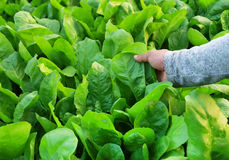 Fresh and organic spinach. Leaves holding by hand in garden Royalty Free Stock Images