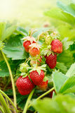 Fresh organic strawberries Royalty Free Stock Photos
