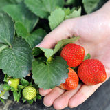 Fresh organic strawberries Royalty Free Stock Images