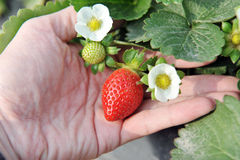 Fresh organic strawberries Stock Photography