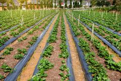 Fresh organic strawberries growing on the plantation on a sunny day. Royalty Free Stock Photo