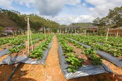 Fresh organic strawberries growing on the plantation on a sunny day. Royalty Free Stock Photos